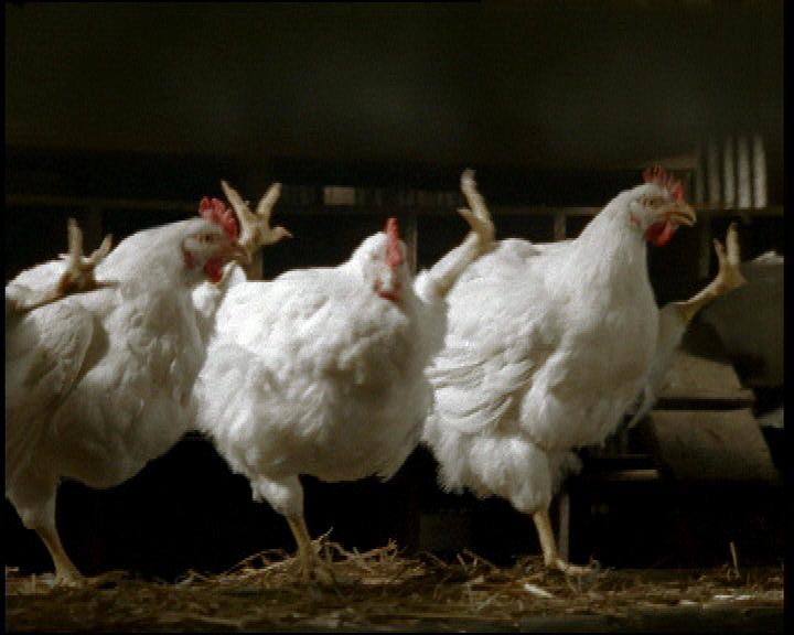 Les poules Le Gaulois chantent la Marseillaise